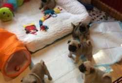 Adorables cachorros pug disponibles