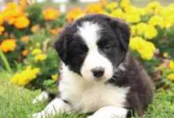 Camada Border collie