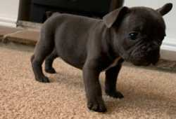 French bulldog puppies We are pleased announces